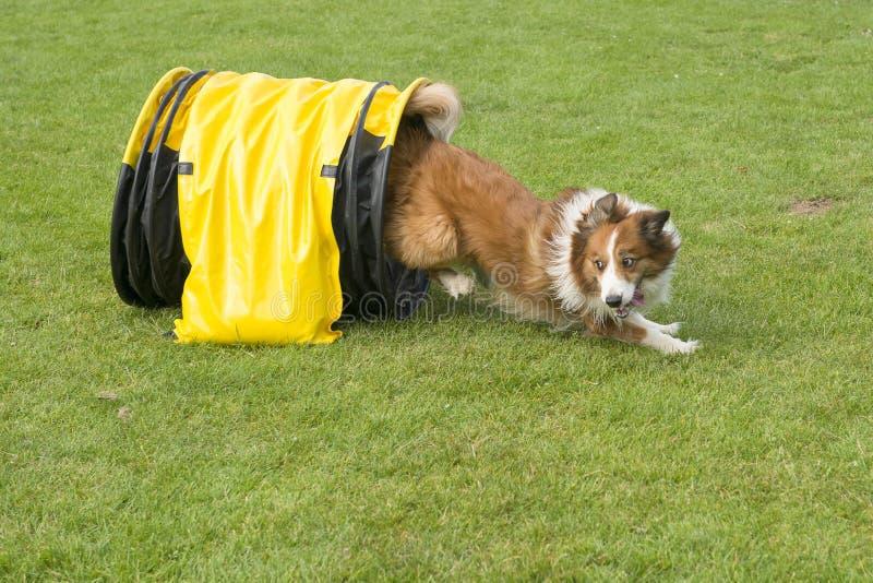 Border collie misturou o cão que corre com uma agilidade f visto túnel fotos de stock royalty free