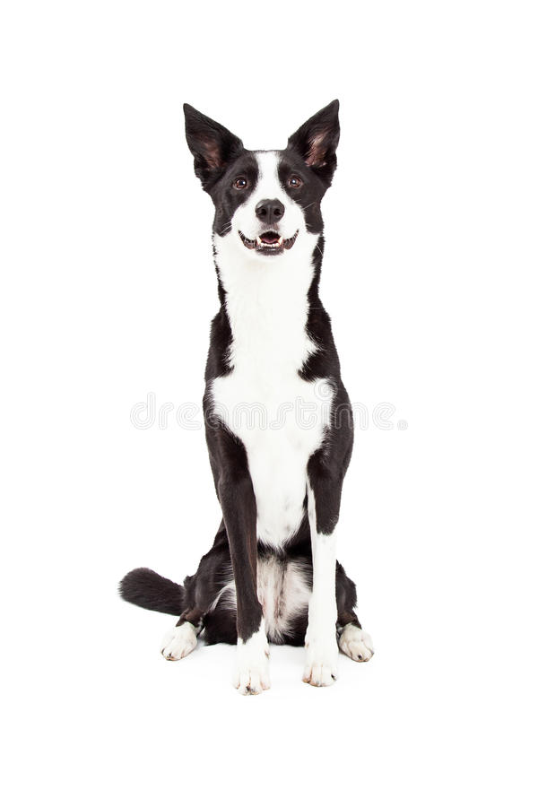 Border Collie Mix Breed Dog Sitting stock images