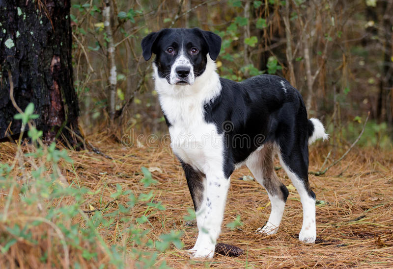 Border Collie mixed breed dog. Black and White Border Collie Kuvasz mixed breed dog, Walton County Animal Control, humane society adoption photo, outdoor pet stock photos