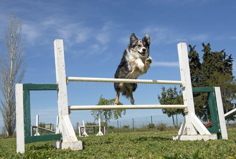 Border collie na agilidade foto de stock
