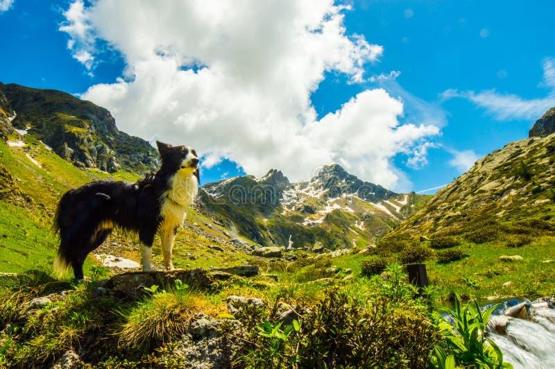 Border collie na górach obrazy royalty free