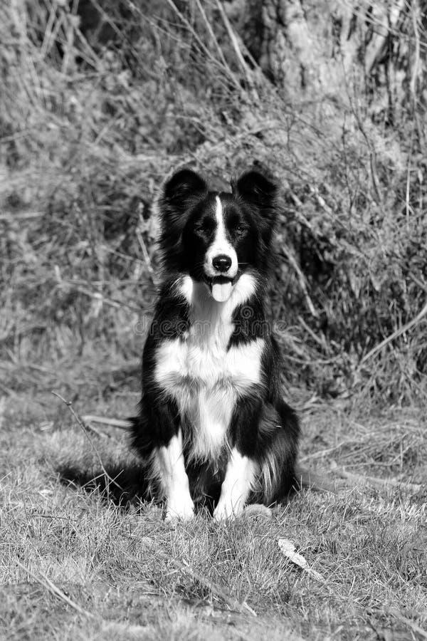 Border Collie na gospodarstwie rolnym fotografia stock