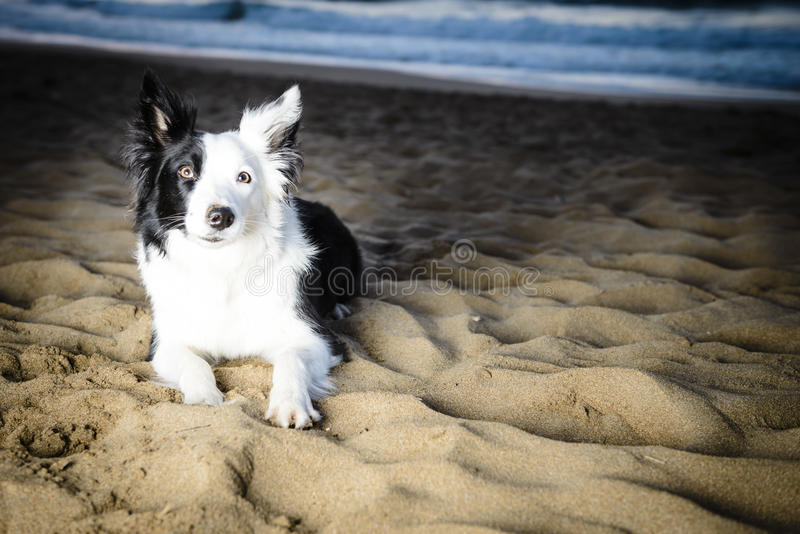 Border Collie na plaży obrazy royalty free