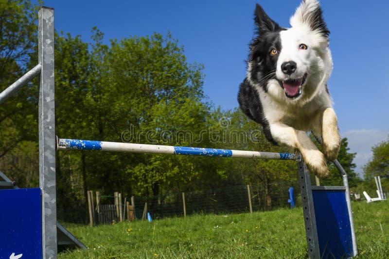 Border collie no esporte da agilidade foto de stock royalty free