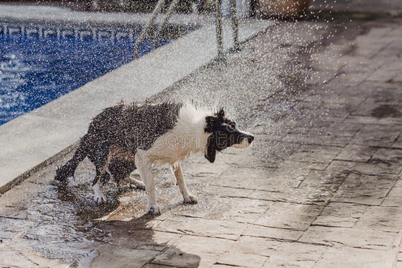 Border collie noir et blanc mignon un chien mignon jouant à la piscine et profitant d'un agréable moment pendant les vacances de  image libre de droits