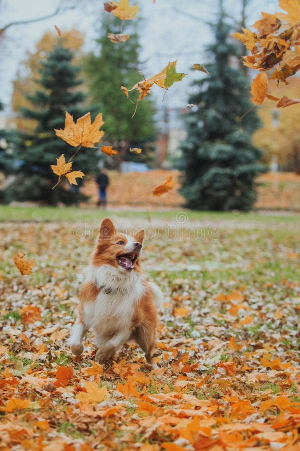 Border collie obediente de la raza del perro Retrato, otoño, naturaleza, trucos, entrenando fotografía de archivo