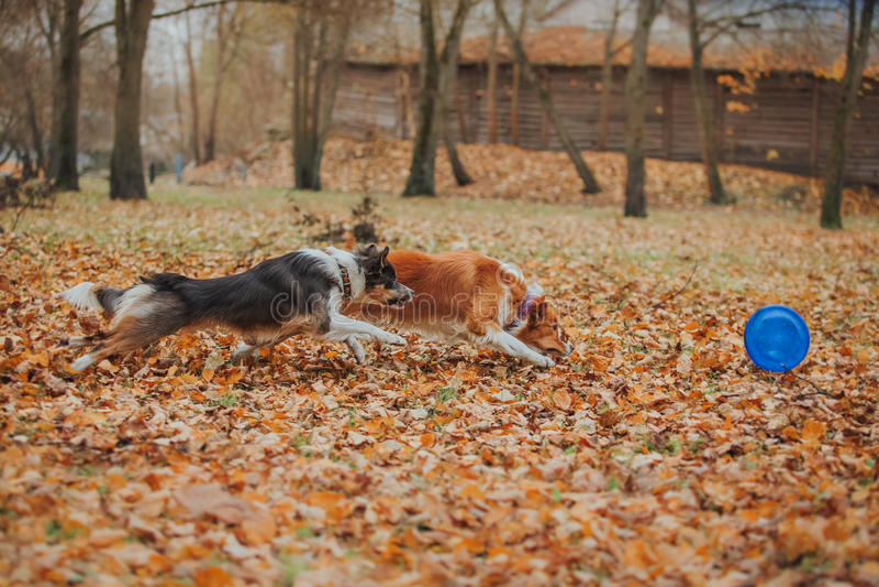 Border collie obediente de la raza del perro Retrato, otoño, naturaleza, trucos, entrenando imagenes de archivo
