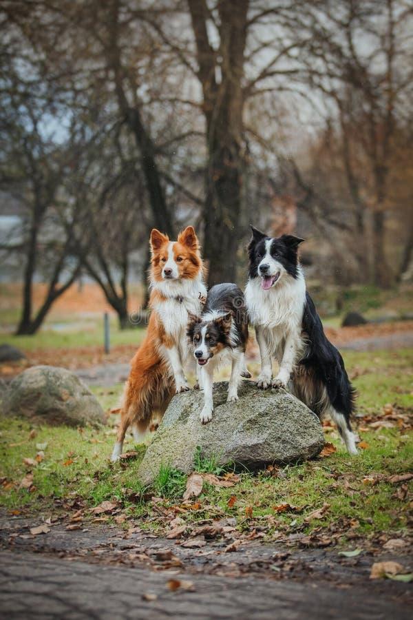 Border collie obediente de la raza del perro Retrato, otoño, naturaleza, trucos, entrenando foto de archivo