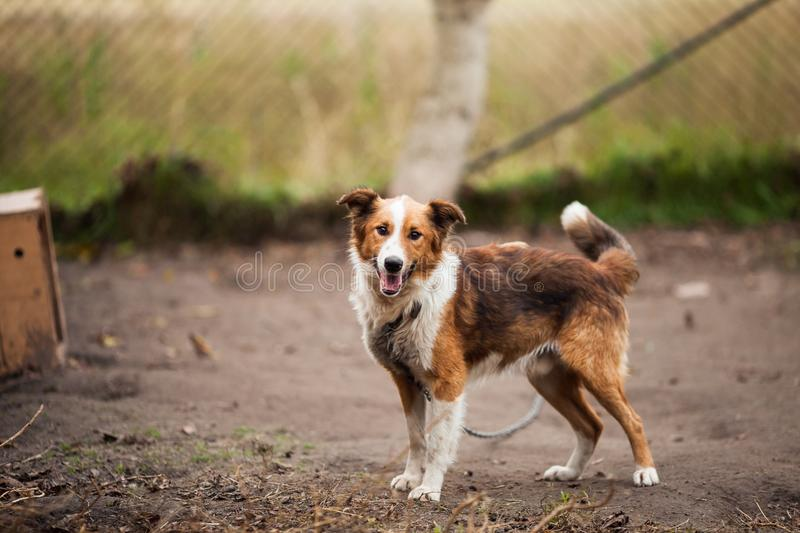 Border Collie Outdoor Near Brown Wooden Dog House stock image