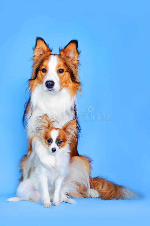 Download Border Collie And Papillon Dogs In Blue Stock Image - Image: 24345577