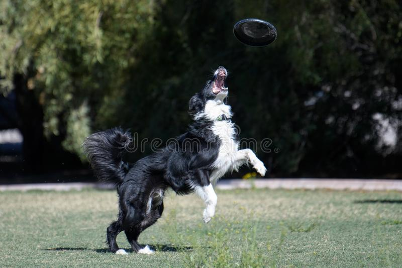 Border collie looking up to catch a disc. Border collie at the park looking up waiting to catch a disc royalty free stock photos