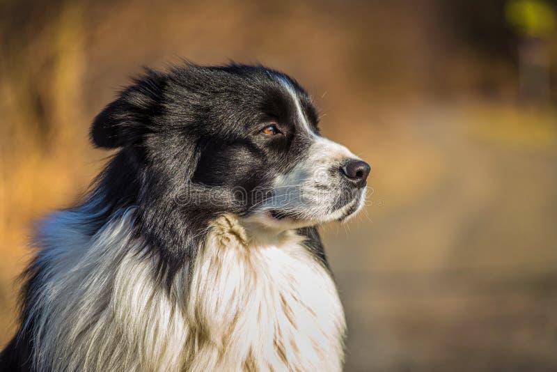 Border collie pies obrazy stock