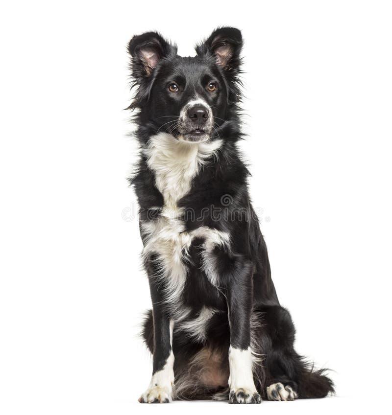 Border Collie pies, 1 roczniak fotografia royalty free