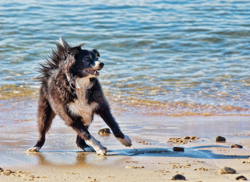 Border collie playing stock images