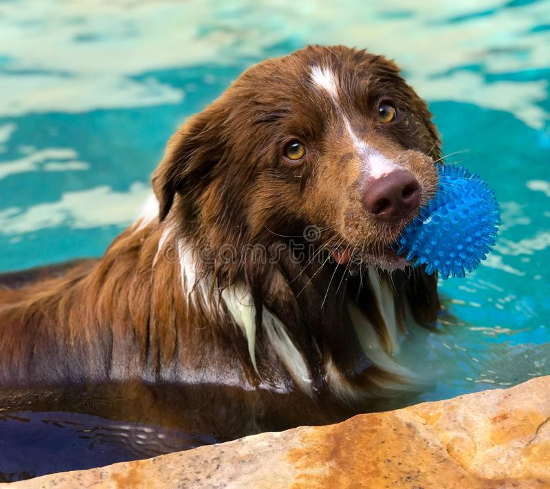 Border collie pool play stock photography