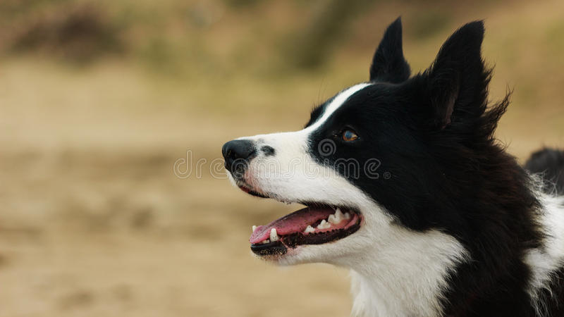 Border collie portrait stock photos