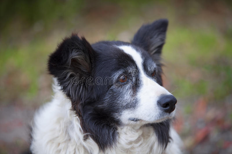 Download Border Collie stock photo. Image of friend, sheepdog - 34408686