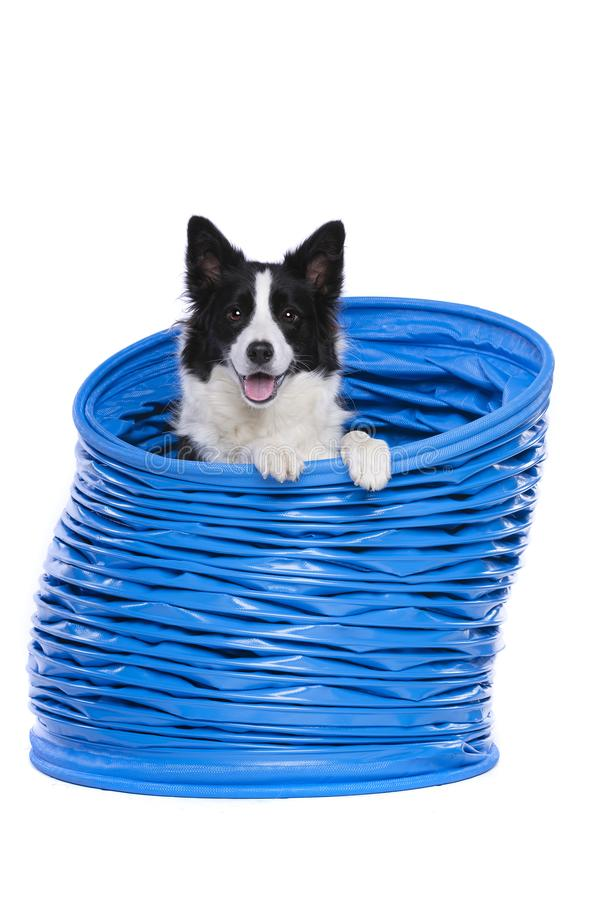 Border collie posing in a blue agility tunnel royalty free stock photos