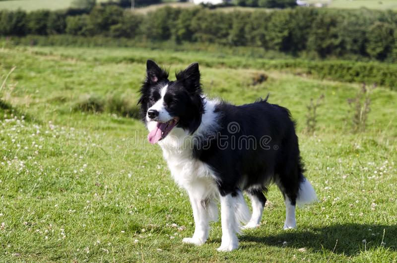 Border collie preto e branco no campo fotos de stock royalty free