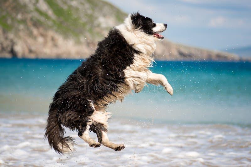 Border Collie psa doskakiwanie przy plażą fotografia stock