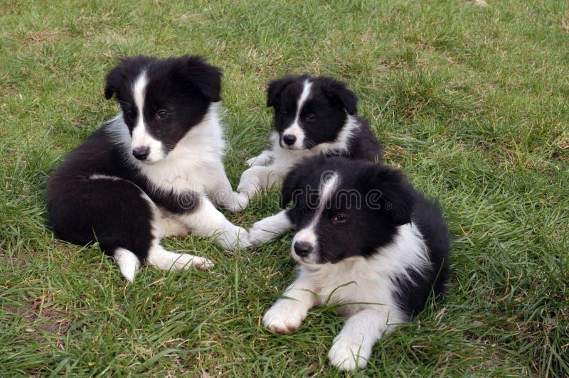 Border collie-puppy royalty-vrije stock fotografie
