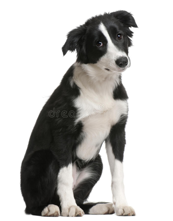Download Border Collie Puppy, 4 Months Old, Sitting Stock Images - Image: 14886164