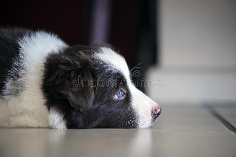 Border collie-puppy royalty-vrije stock afbeeldingen