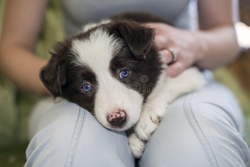 Border collie-puppy stock foto's