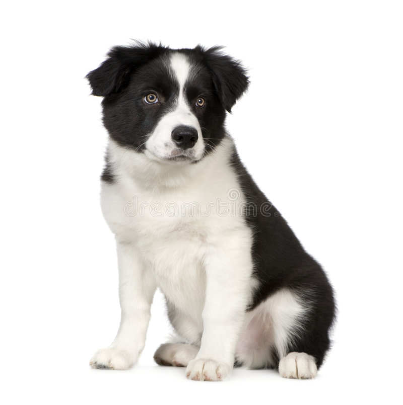 Download Border Collie Puppy stock photo. Image of doggy, creature - 4989036