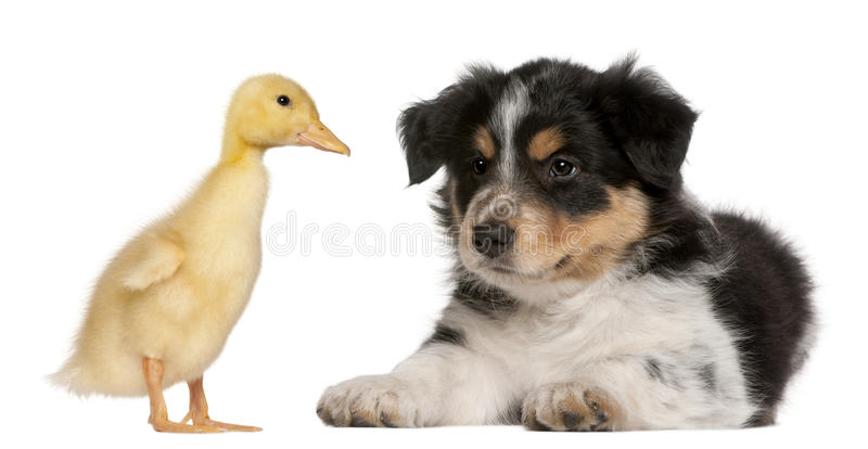 Download Border Collie Puppy, 6 Weeks Old Royalty Free Stock Photo - Image: 23089115