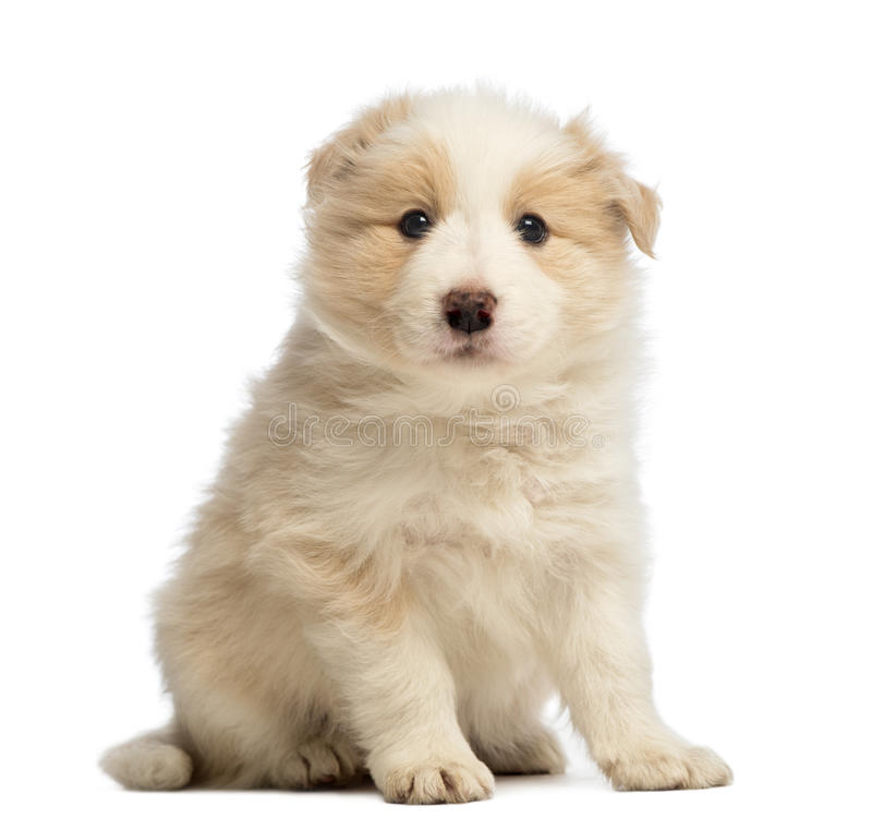 Border Collie puppy, 6 weeks old, sitting and looking at the camera. In front of white background royalty free stock photography