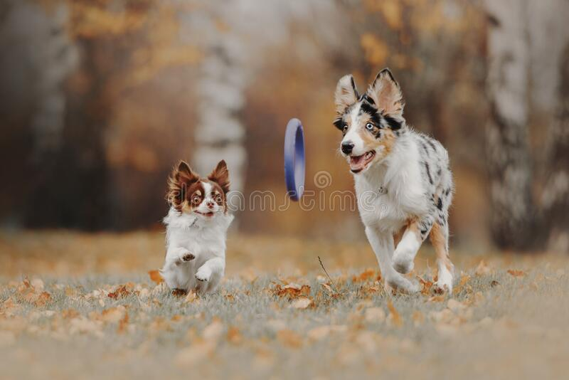 Border collie puppy and chihuahua dog playing together outdoors stock photos