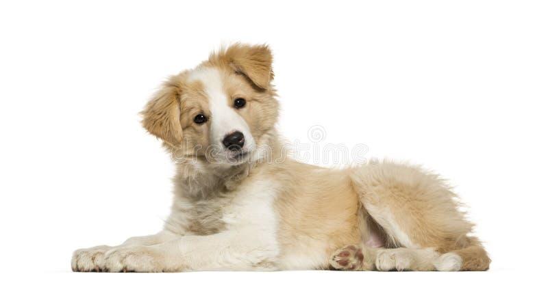 Border collie-puppy die tegen witte achtergrond liggen stock afbeeldingen