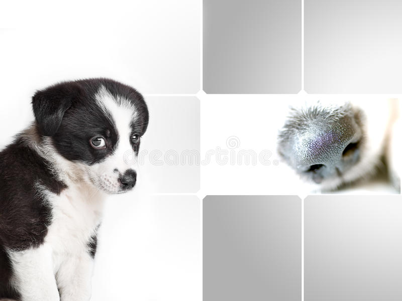 Border collie puppy and dogs nose royalty free stock images