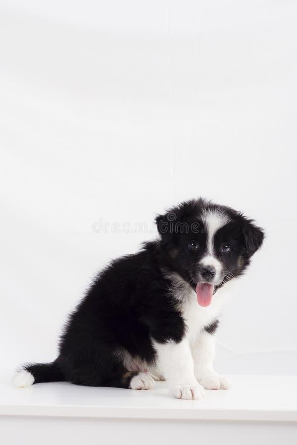 Border collie-puppy stock afbeeldingen