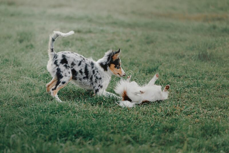 Border collie puppy playing with a chihuahua dog on grass royalty free stock photos