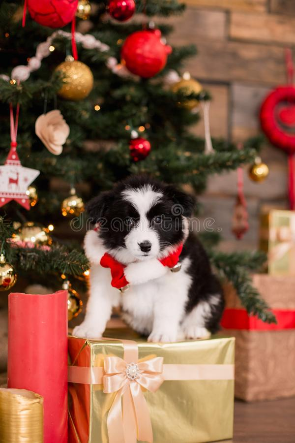 Border Collie puppy on white background of Christmas decorations stock images