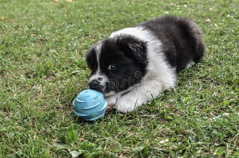 Border collie-puppyspel stock foto's