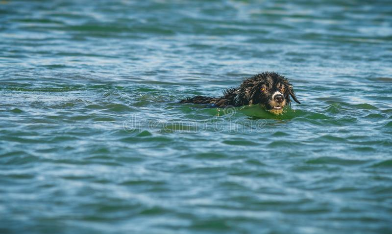 Border collie que juega en el mar fotografía de archivo