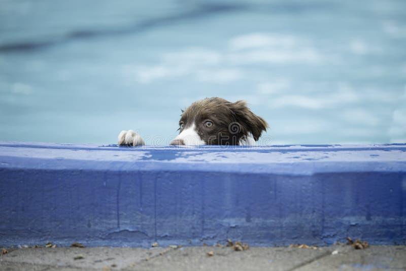 Border collie que mira sobre el borde de la piscina imagenes de archivo