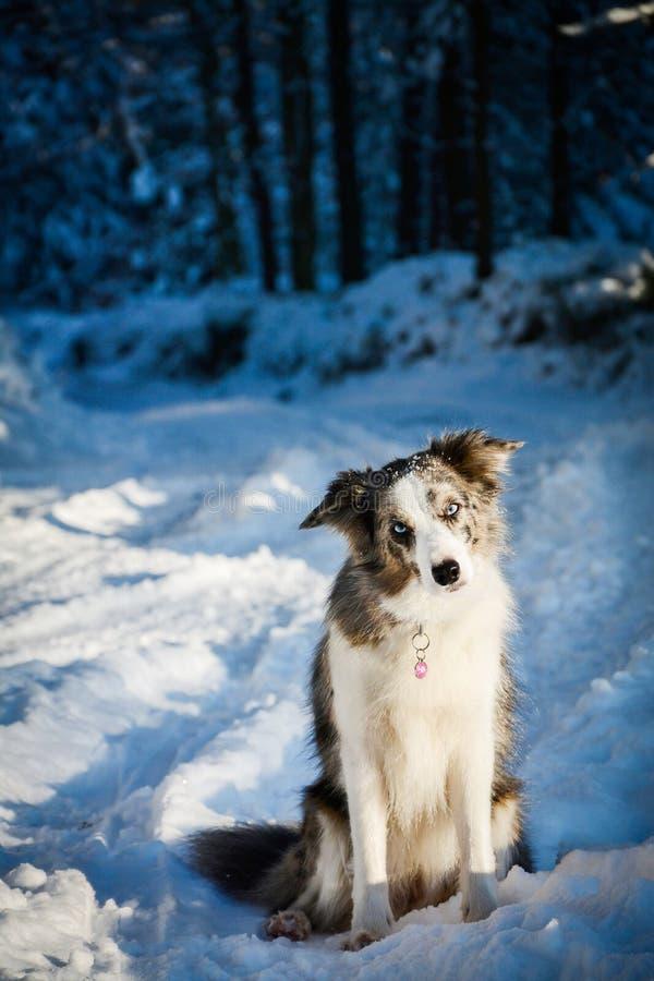 Border collie que se sienta en la nieve imágenes de archivo libres de regalías