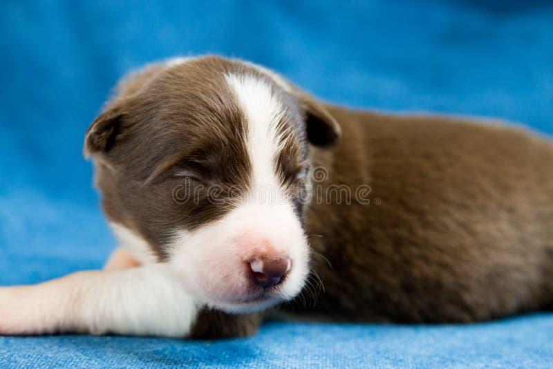 Border collie recién nacido el dormir foto de archivo