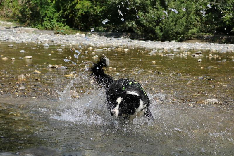 Border collie at the river and splashes of water stock photo