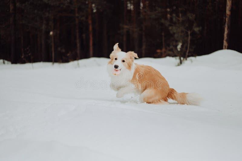 Border collie rojo del perro del perrito en el bosque de la nieve del invierno que juega el perro foto de archivo libre de regalías