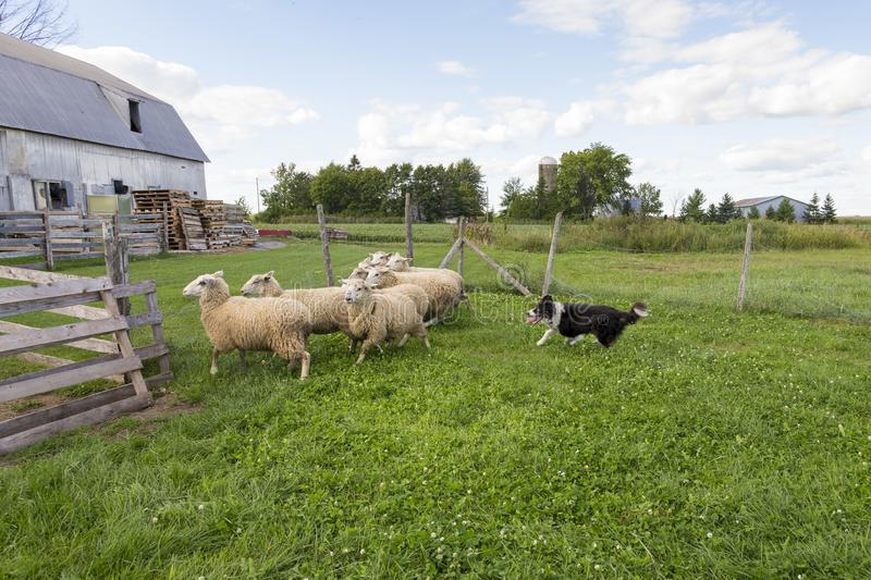 Border collie running with intense expression and tongue hanging out after group of sheep. In field with farm buildings in the background stock photos