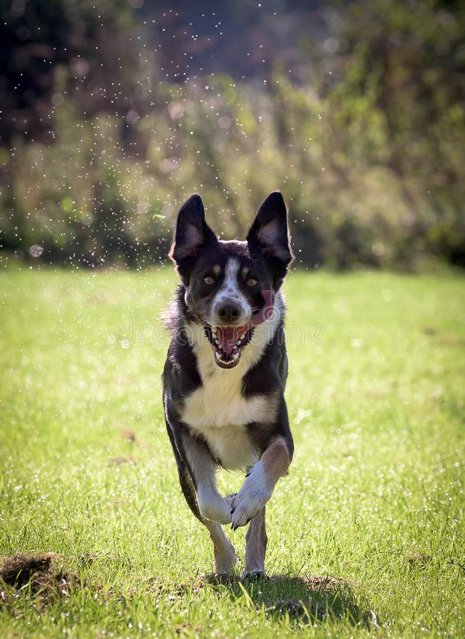 Border collie running towards camera with water drops flying royalty free stock photography
