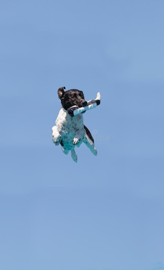 Border collie saute avec un jouet image stock
