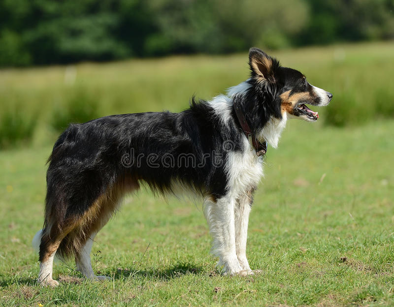 Border Collie Or Sheep Dog Royalty Free Stock Photography