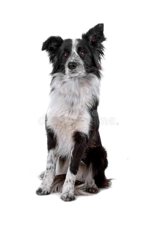 Border collie sheepdog royalty free stock image