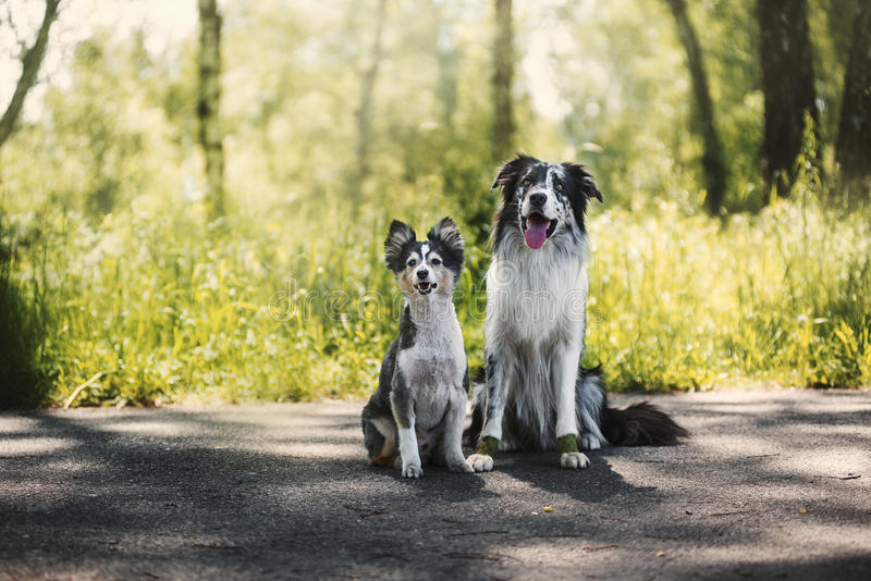 Border collie and shetland sheepdog stock photo